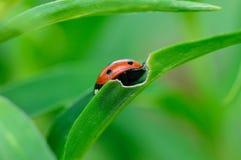 Ladybug Стоковые Изображения RF