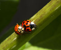 02 ladybug Στοκ Φωτογραφίες