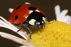 Ladybug. Close-up Stock photo Stock Images