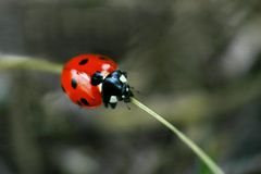 Ladybug. On a piece of grass taken with the canon digital rebel Royalty Free Stock Photo