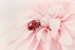 Λαμπρίτσα ή ladybug στις πτώσεις νερού σε ένα ρόδινο λουλούδι Στοκ Φωτογραφίες