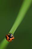 μακροεντολή λαμπριτσών ladybug Στοκ Φωτογραφίες