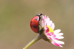 Ladybug. Close up of beautiful  Ladybug Stock Images