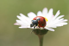 Ladybug. Close up of beautiful  Ladybug Stock Photography