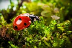 Ladybug на мхе Стоковая Фотография RF