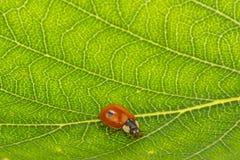 Ladybug σε ένα φυλλάδιο Στοκ Φωτογραφίες
