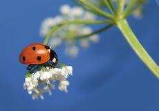 Ladybug 5 Stock Images