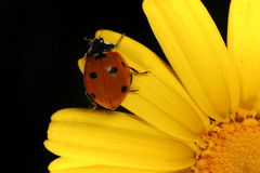 Ladybug. On a yellow flower petals, isolated on black background Stock Photo