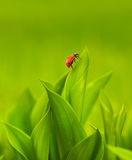 Ladybug. Sitting on a green grass Royalty Free Stock Photo