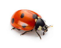 Free Ladybug Royalty Free Stock Photos - 51208008