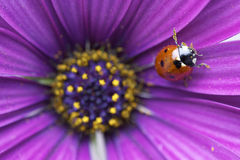 Ladybug. In the flower Royalty Free Stock Photography