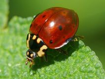 Ladybug. A ladybug hunts for a meal in the garden Royalty Free Stock Photos