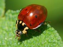 Ladybug Royalty Free Stock Photos