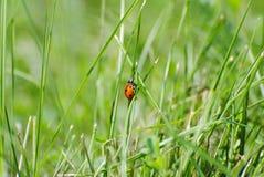 LadyBug [02] Immagini Stock Libere da Diritti