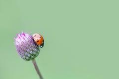 Κόκκινο Ladybug Γυναικείο πουλί σε ένα τοπ μπλε, ιώδες λουλούδι Στοκ φωτογραφία με δικαίωμα ελεύθερης χρήσης