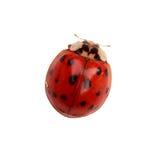 Ladybug Fotografía de archivo libre de regalías