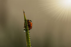 Свежая роса утра с ladybug Стоковые Изображения