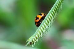 LadyBug [02] Fotografia de Stock Royalty Free