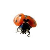 Ladybug Fotografie Stock