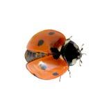 Ladybug Fotografia de Stock