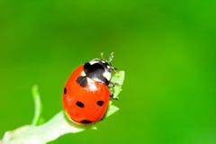 ladybug Стоковая Фотография RF