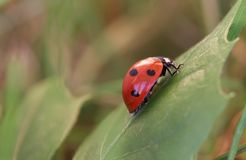 Ladybug. Sitting on a green grass Stock Photos