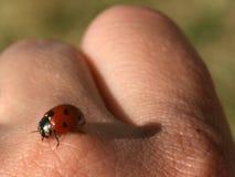 Ladybug Imagen de archivo libre de regalías