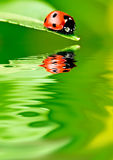 Ladybug Royalty Free Stock Photos