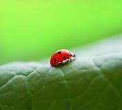 Ladybug. A little red ladybug on a green leaf Royalty Free Stock Images