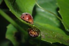 02 ladybug Στοκ φωτογραφία με δικαίωμα ελεύθερης χρήσης