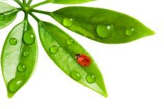 Free Ladybug Stock Photos - 8312263