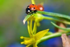 LadyBug [02] Immagini Stock