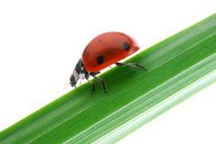 Ladybug Imagem de Stock