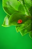Ladybug. Sitting on a green leaf Royalty Free Stock Photography