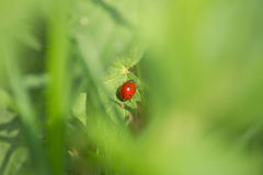 LadyBug [02] Immagine Stock Libera da Diritti