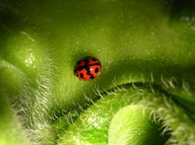 A ladybug Royalty Free Stock Photos