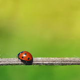 Ladybug Royalty Free Stock Images