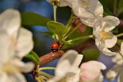 02 ladybug Στοκ Εικόνα