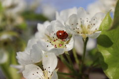 LadyBug [02] Fotografia Stock