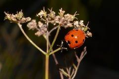 02 ladybug Στοκ εικόνα με δικαίωμα ελεύθερης χρήσης