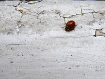 Ladybug from above. Ladybug with its colors on a white old floor Stock Image