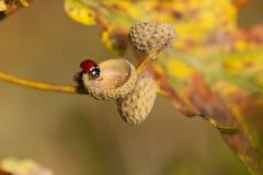 Ladybug - acorn shell Stock Images
