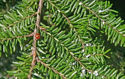 Ladybug and Adelgids on a Hemlock Royalty Free Stock Image