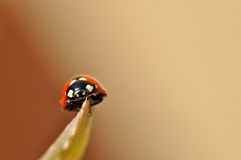 Ladybug. Stock Photography