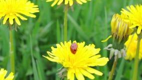 Ladybug amongst green grass stock footage
