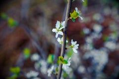 Ladybug andwhite flowers Royalty Free Stock Photo