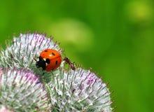 Ladybug and ant Royalty Free Stock Photo