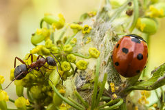Ladybug and ant on a flower Stock Images