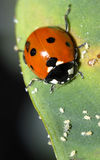 Ladybug and aphids. A ladybug feeds on aphids on a taro leaf Royalty Free Stock Images