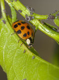 Ladybug and aphids Royalty Free Stock Images